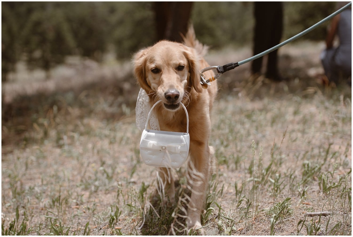 A dog holds a white purse in his mouth while on a leash.