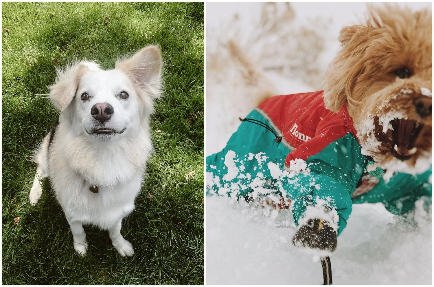 Two individual photos with a white dog on the left and a brown dog on the right.